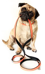pug holding lead in mouth