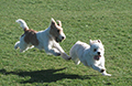 two dogs running in a fiel