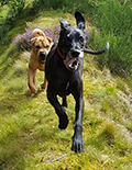 great dane and sharpei dogs running through the woods